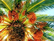 Palmier avec les fruits oranges Photographie stock