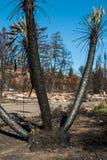 Palmier brûlé Image libre de droits