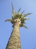 Palmier contre le ciel bleu photos libres de droits