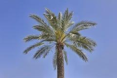 Palmier contre le ciel bleu Images libres de droits