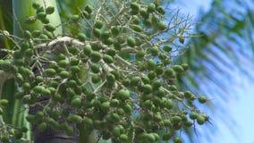 Palmier d'arec avec le fruit vert d'écrous dans la forêt tropicale sur le fond de ciel bleu Palmier vert d'arec sur le ciel clair clips vidéos