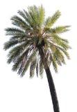 Palmier d'isolement Photo libre de droits
