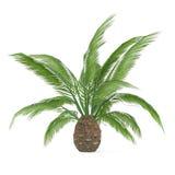 Palmier d'isolement. Canariensis de Phoenic Photo libre de droits