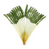 Palmier d'isolement. Madagascariensis de Ravenala illustration libre de droits