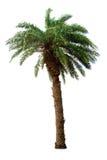 Palmier d'isolement sur le fond blanc Image libre de droits