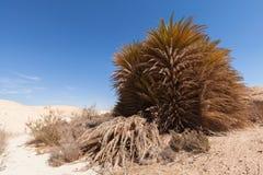 Palmier dans les sables de désert Photographie stock