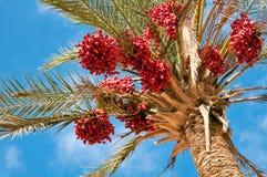 Palmier dattier. Photographie stock libre de droits