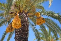 Palmier dattier Photographie stock libre de droits