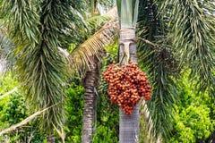Palmier dattier Image libre de droits