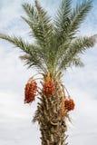 Palmier dattier Photographie stock