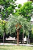 Palmier dattier Photo stock