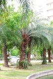 Palmier dattier Photo libre de droits