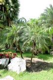Palmier dattier Images libres de droits