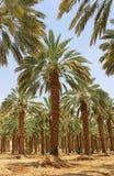 Palmier dattier aux kibboutz Ein Gedi, Israël Photo libre de droits