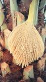 Palmier dattier avec des fleurs de fleur Images stock