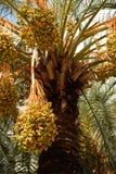 Palmier dattier avec des fruits Photographie stock