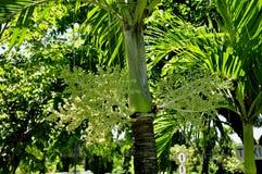 Palmier dattier avec la formation de fruit Photos libres de droits