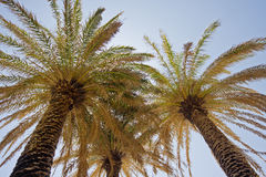 Palmier dattier crétois photos stock