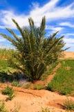 Palmier dattier dans l'oasis Images libres de droits