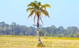 Palmier-dattier sur des déserts photo stock