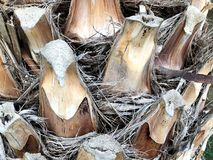 Palmier dattier trunk Photo unique De la gamme étroite photos stock