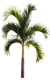 palmier de bétel d'isolement sur le blanc, arbre d'isolement sur le backgro blanc Photo libre de droits