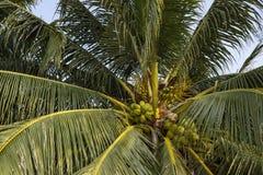 Palmier de Cocos avec des noix de coco Photo verte de fruit de paume Noix de coco sur l'arbre Paysage tropical de jardin photographie stock libre de droits