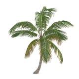 Palmier de Cocos d'isolement. Nucifera de Cocos Photographie stock