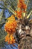 Palmier de datte avec des dattes Images libres de droits