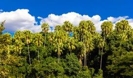Palmier de grog ou à sucre images stock