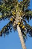 Palmier de noix de coco, nucifera de Cocos, avec un ciel bleu Photographie stock