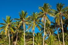 Palmier de noix de coco Photo libre de droits