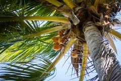 Palmier de noix de coco Images stock