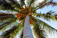 Palmier de noix de coco avec des fruits Image libre de droits