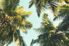 Palmier de noix de coco sur le fond de ciel Vue d'angle faible Image modifiée la tonalité Images libres de droits