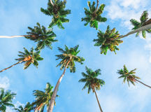 Palmier de noix de coco sur le fond de ciel Vue d'angle faible Image modifiée la tonalité Photographie stock
