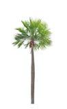 Palmier de paume de cire (Copernicia alba). Image libre de droits