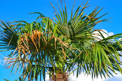 Palmier de Phoenix Photos libres de droits
