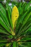 Palmier de sagou Photographie stock libre de droits
