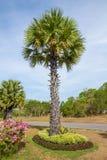 Palmier de sucre dans le jardin photos libres de droits