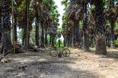 Palmier de sucre dans le jardin Image libre de droits