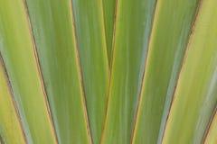 Palmier de voyageur Images libres de droits