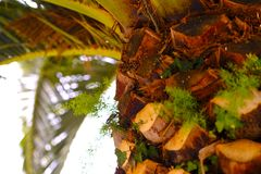 Palmier du sud, écorce d'arbre photo stock