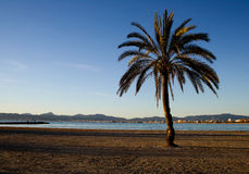 Palmier en Palma Mallorca Photo libre de droits