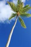 Palmier exotique de noix de coco Photos stock