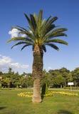 Palmier intéressant de date Images libres de droits