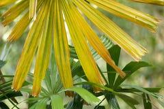 Palmier jaune photos stock