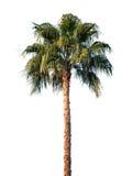 Palmier lumineux d'isolement sur le blanc Photo libre de droits