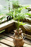Palmier mis en pot miniature Photo libre de droits