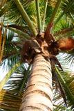 Palmier - Porto Rico Images libres de droits